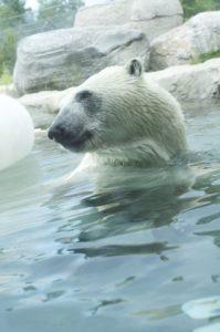 Habitat de l'ours polaire